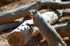 View of a striped mongoose. In an enclosure of an animal park in France Royalty Free Stock Photo