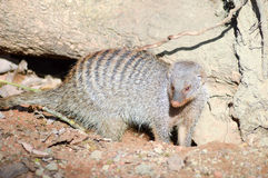 View of a striped mongoose. In an enclosure of an animal park in France Stock Photo