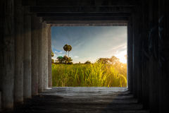 View of sugar palm tree in rice field with morning sunlight look Stock Photography