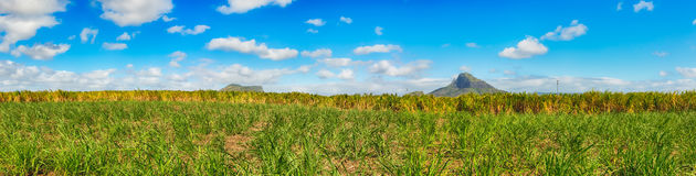 View of a sugarcane and mountains. Mauritius. Panorama Stock Images