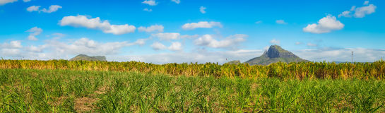 View of a sugarcane and mountains. Mauritius. Panorama Stock Photography