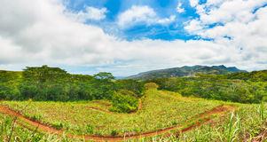 View of a sugarcane and mountains. Mauritius. Panorama Royalty Free Stock Image