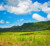 View of a sugarcane and mountains. Mauritius. Panorama Royalty Free Stock Images
