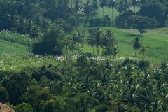 View of Sugarcane and Paddy fields Royalty Free Stock Photos