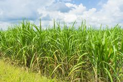 View of sugarcane plantation. Panoramic view of sugarcane plantation stock photo