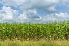 View of sugarcane plantation. Panoramic view of sugarcane plantation stock photos