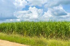 View of sugarcane plantation. Panoramic view of sugarcane plantation royalty free stock photography