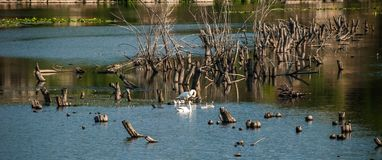 A view of a summer river with trees and a white swan family with children in the centre of it. stock photo