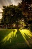 View of sun shining through big lush tree at park Stock Image