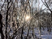 View of the sun through the snow-covered wavy bumps willow. stock photos