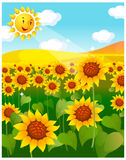 The view of sunflower field Stock Photography