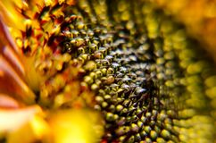 View of sunflower up close royalty free stock photo