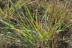 GREEN CLUMP OF GRASS WITH SOME RED BLADES. View of sunlight on a patch of green grass close to a water source Royalty Free Stock Photography