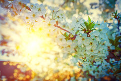 View on sunrise in branches of blossoming cherry Stock Photos