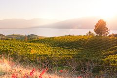 View of vineyard glowing in setting sun with lake and mountains in background stock photo