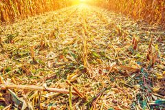 View on surface of corn field after harvest in Royalty Free Stock Images