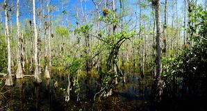 Swamp in the Everglades National Park Royalty Free Stock Photo