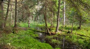 View of swampy stand with little stream Stock Photography