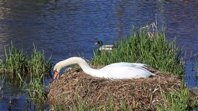 Swan`s nest. View of swan`s nest in a sunny day stock video footage