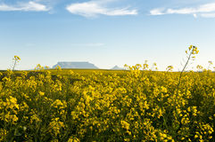 View of Table Mountain with Canola flowers. Breathtaking view of Table Mountain with fields of Canola flowers in the foreground with a blue sky and scattered Stock Photos