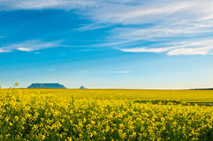 View of Canola fields with Table Mountain in the b. Breathtaking view of Table Mountain with bright yellow fields of Canola flowers Stock Photos