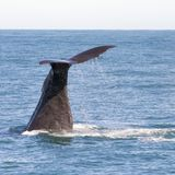 View on the tail of a large sperm whale in Kaikoura, when he started his dive into the water just after taking in oxygen. The waterdrops are to be seen falling stock photos