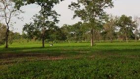 View of the tea field in Dak Lak, Vietnam. View of the tea field with many trees in Dak Lak, Vietnam stock video footage