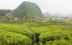 View of the tea fields Stock Images