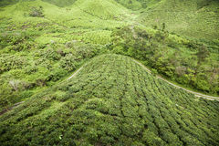 View on tea plantation Stock Image