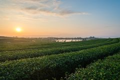 View of tea plantation in the morning in Chiang Rai, Thailand. View of a beautiful tea plantation in the morning in Chiang Rai, Thailand stock images