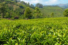 View of tea plantation valley in Munnar Royalty Free Stock Image