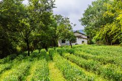 View of tea plants field with tradtional Chinese house in Hangzh royalty free stock image