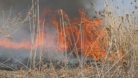 View of terrible dangerous wild high fire in the daytime in the field. Burning dry straw grass. A large area of nature