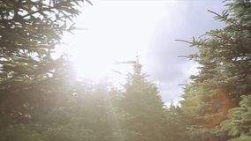 View at thick forest with green spruces in sunbeams. Summer day. Nature. Nobody. Fir trees. Healthy air stock video footage