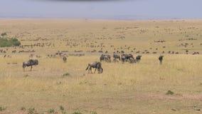 African savannah valley where thousands of wildebeest graze yellow dry grass