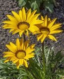 Large yellow boarder daisy. View of three large yellow daisies in a garden boarder Stock Photos