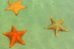 View of three starfishes in playa Estrella, Panama Stock Image