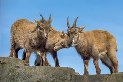 View of three young brown hairy ibexes, from a low point of view, with their face forward all of them frolicking on a high rock. View of three young ibexes royalty free stock photo