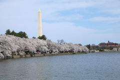 DC cherry blossom 8. The view from tidal basin walk way to Catch DC cherry blossom landscape. On the right side is smithsonia, On the left side is Washington Stock Photos