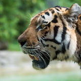 View of tiger head from the side Royalty Free Stock Photography