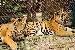 Two Tigers in Tiger Kingdom, in Chiang Mai, Thailand. View of tigers inside the Tiger Kingdom in Chiang Mai province. You can interact, play and click photos Stock Image