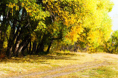 Autumn trees in forest. View to autumn trees in yellow forest Stock Photography