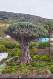 View to botanical garden and famous millennial tree Drago in Ico Stock Photos