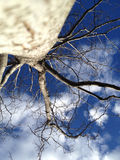 View to the crown of a tree without leaf. And blue sky Royalty Free Stock Photography