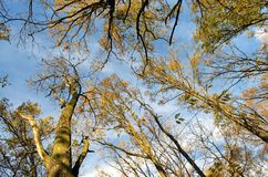 Look up to the crown of trees Royalty Free Stock Photography