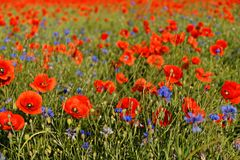 A field of poppy flowers and cornflowers near Erfurt stock photos