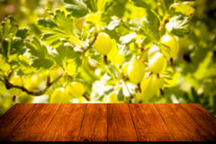 View to fresh green gooseberries on a branch of gooseberry bush Stock Photography