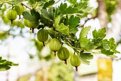 View to fresh green gooseberries on a branch of gooseberry bush in the garden. Close up view of the organic gooseberry berry hangs stock photo