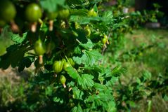 View to fresh green gooseberries on a branch of gooseberry bush royalty free stock image