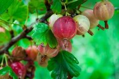 View to fresh green gooseberries on a branch of gooseberry bush stock photos